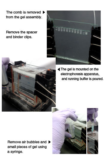Gel plate is mounted on the electrophoresis apparatus