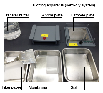 Western blotting – Preparing for transfer No.3