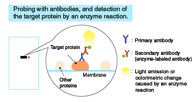 Blocking and probing with antibodies