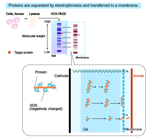 High molecular weight proteins is difficult away from the gel