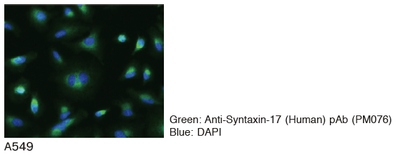 Anti-Syntaxin-17 (Human) pAb(Code No. PM076)のImmunocytochemistry