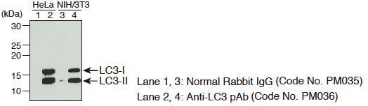 Anti-LC3 pAbのImmunoprecipitation