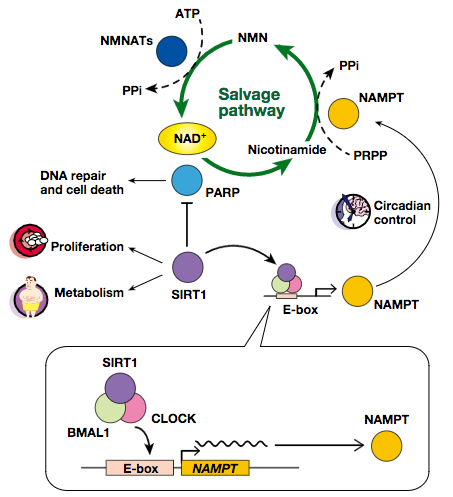 The world spreading from NAD biosynthesis