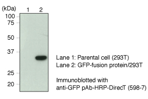 Anti-GFP mAb (1E4) Magnetic agarose IP