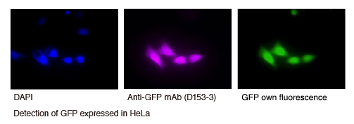 Anti-GFP mAb (1E4) Alexa