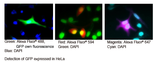 Anti-GFP mAb (1E4) IH Fluorescence