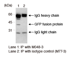 Anti-GFP mAb (1E4) IP