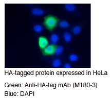 Anti-HA-tag mAb (Clone: TANA2) 細胞染色