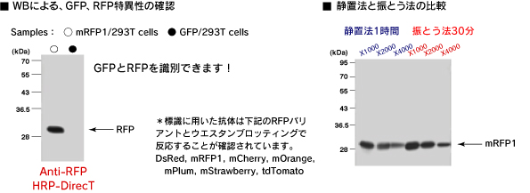 Anti-RFP HRP-DirecT (Code No.PM005-7)静置法と振とう法の比較