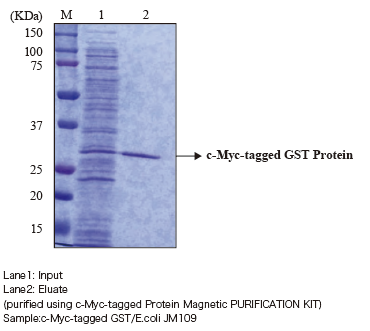 3340 c-Myc-tagged GST protein purification