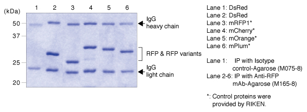 Anti-RFP mAb (3G5)-Agarose IP