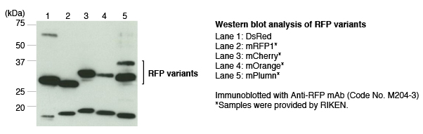 Anti-RFP mAb (1G9) WB of RFP variants