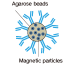 schematic diagram of magnetic agarose beads